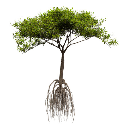 3D rendering of a green mangrove tree isolated on white background
