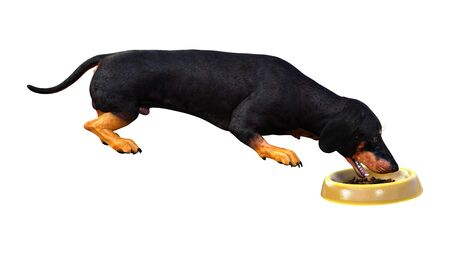 3D rendering of a dachshund or badger dog or sausage dog isolated on white background