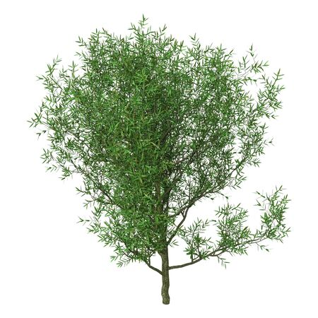 3D rendering of a crack willow or Salix fragilis or brittle willow isolated on white background 스톡 콘텐츠