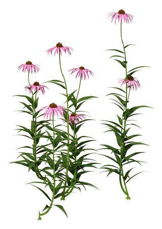 3D rendering of cone flowers isolated on white background