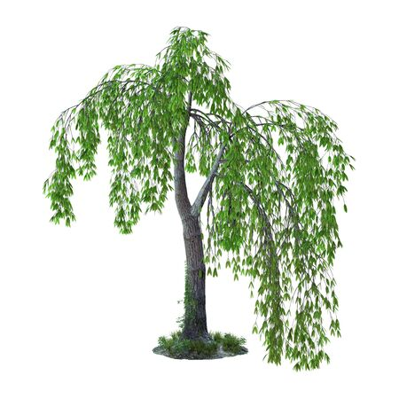 3D rendering of a green willow tree or sallow or osier isolated on white background Zdjęcie Seryjne