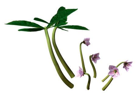 3D rendering of Helleborus orientalis or Lenten rose or Christmas rose flowers isolated on white background