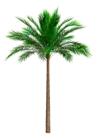 3D rendering of a coconut palm tree isolated on white background