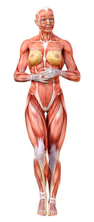 3D rendering of a female figure with muscle maps isolated on white background Standard-Bild