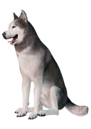 3D rendering of a siberian husky dog isolated on white background