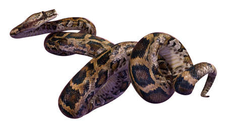 3D rendering of a Burmese python or Python bivittatus, one of the largest snakes in the world, isolated on white background