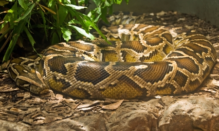 constrictor: Boa constrictor coiled in terrarium Stock Photo
