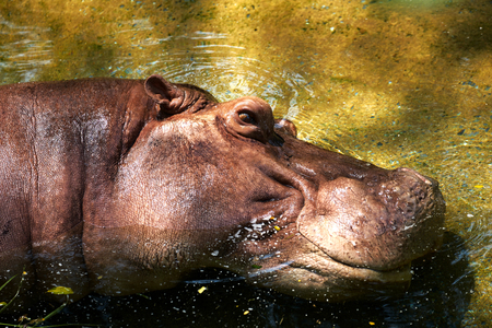 hippo potamus head lie down in river open eye a bit 스톡 콘텐츠
