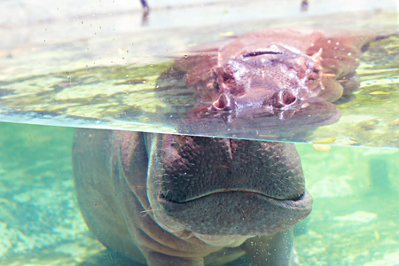 Hippo under water show its ears and eyes in zoo aquarium with sun light