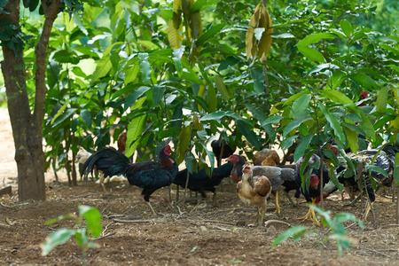 Group of chicken in garden yard or farm Archivio Fotografico