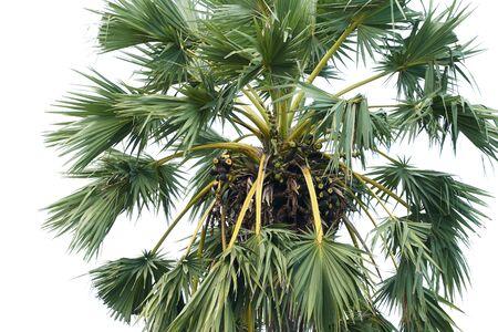 Palmier à sucre à la plage, fermé