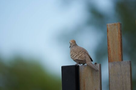 brown pigeon on wooden fence looking Imagens