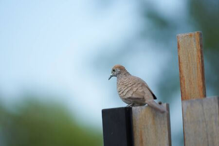 brown pigeon on wooden fence looking for food Imagens