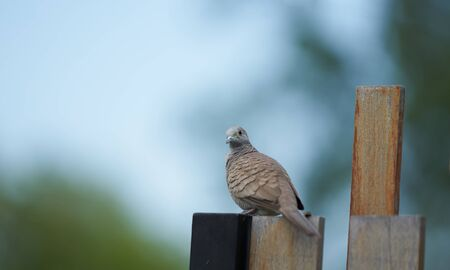 brown pigeon on wooden fence looking at camera