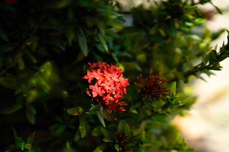 Ixora or red flower in nature bush with shade Stock fotó