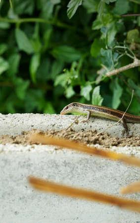 Black striped lizard on floor Reklamní fotografie