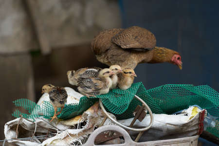 Hen and chicks stand on farm net