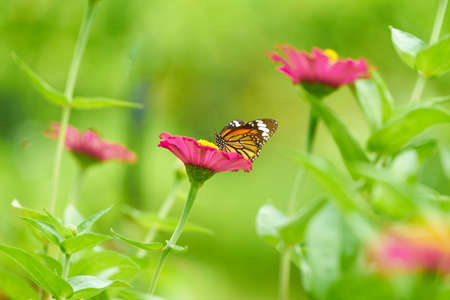 Butterfly on pink petal flowers with pollen on stem  on blur background
