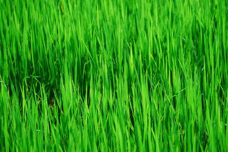 Closed up Rice stem in the farm Reklamní fotografie