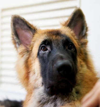 Portrait of a german shepherd dog