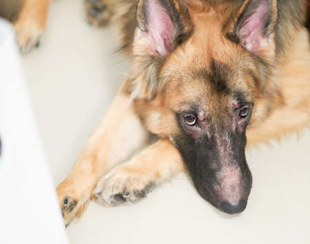 German shepherd dog face with skin rash problem lying down on floor high angle view look at camera