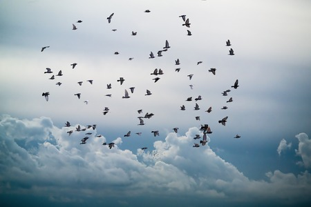 flock of birds flying in the sky against a backdrop of clouds
