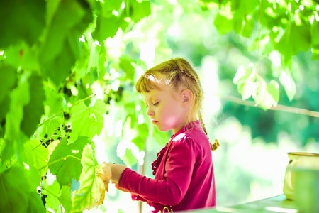 gathers: The girl in the purple dress at the garden gathers grapes