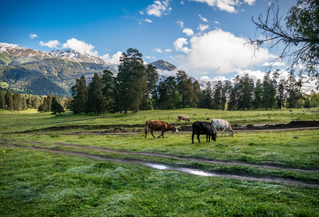 cows on the morning dew come to graze on meadows in the mountains Stock Photo