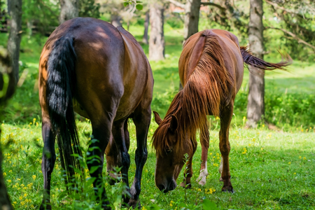 Stallion and kabyla tweaked the grass among the birches
