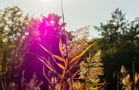 太陽フレアの背景にふわふわのヒース