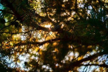 松の針を通して太陽の光
