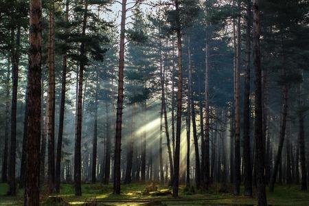 太陽の光線が、Arkhyz の松林の枝の間で壊れています。
