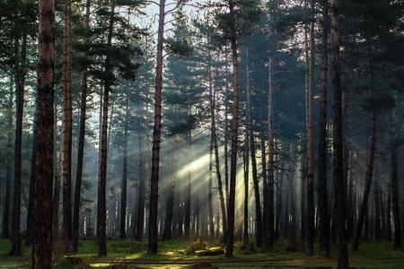 The rays of the sun are broken among branches in a pine forest in the Arkhyz