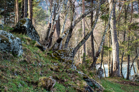 Birch rise among rocks on the mountain slope