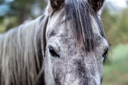 Dark grey Horse carefully outed into the lens with brown eyes