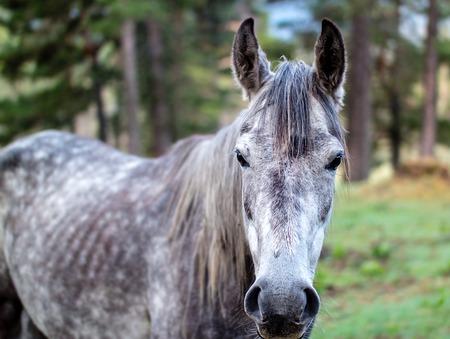 馬は慎重に茶色の目でレンズに outed ダークグレー