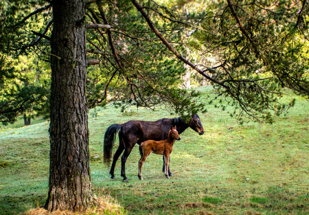 foal with a Mare on the hillside grazing under the pine trees