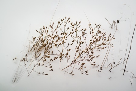 dry stems of plants break through the snow
