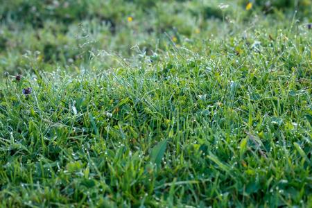 green grass in dew drops on the hillside 写真素材