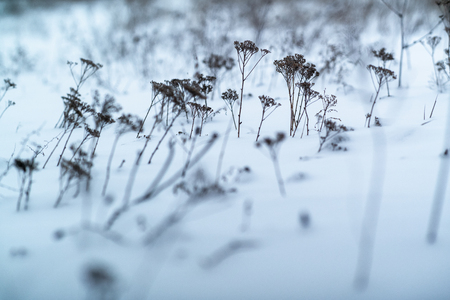 dried grass on snow background