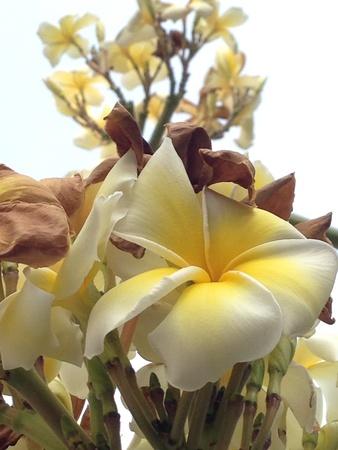rose of the desert: Desert rose fiore