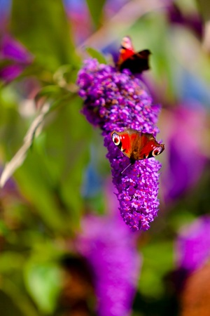 Nature background with butterfly on lilac  photo