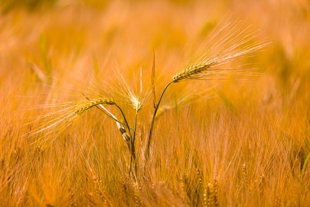 Close uo photography of golden wheat field photo