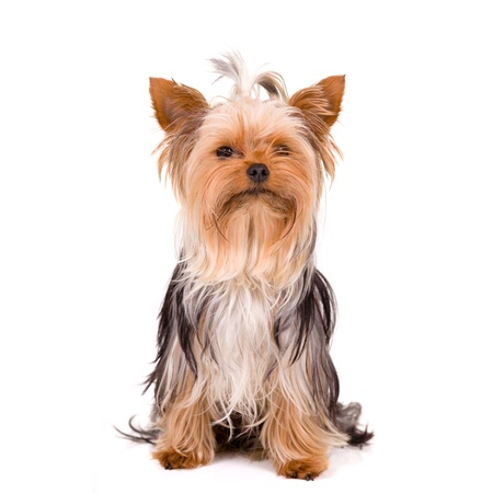 Little dog - Yorkshire Terrier photo