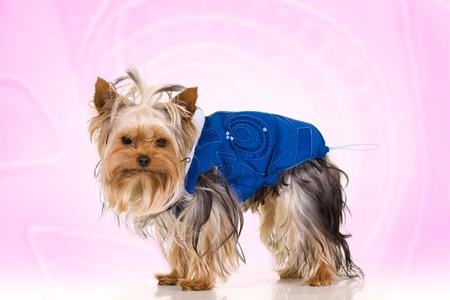 Little dog on pink background - Yorkshire Terrier dressed in blue jacket photo
