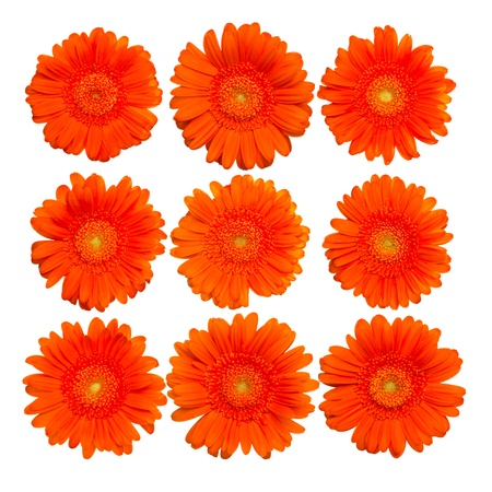 Collection of orange gerberas  photo