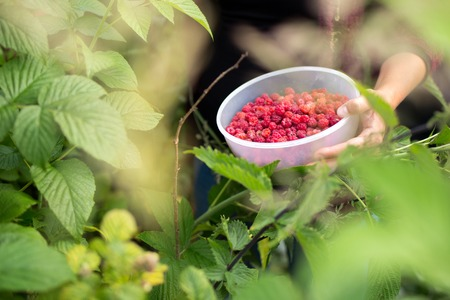 Image of a girl collecting real forest raspberries Stock Photo
