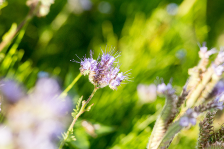 Phacelia (Phacelia tanacetifolia) is a very attractive plant. One of the best honey-producing flowers for honeybees also known for its green manure capabilities