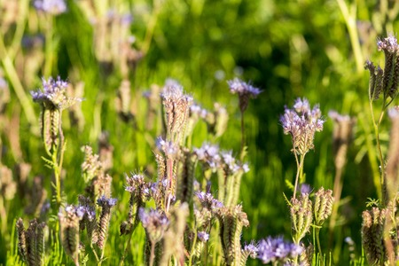 capabilities: Phacelia (Phacelia tanacetifolia) is a very attractive plant. One of the best honey-producing flowers for honeybees also known for its green manure capabilities