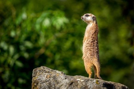 Meerkat family member (Suricata suricatta) on guard